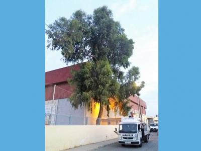 Trabajos de poda de saneamiento y seguridad arbórea antes del comienzo del nuevo curso escolar