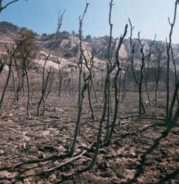bosque tras incendio 0