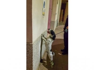¡Excelente trabajo de la Unidad Canina de la Policía Local de Archena, con 'Odín' al frente!